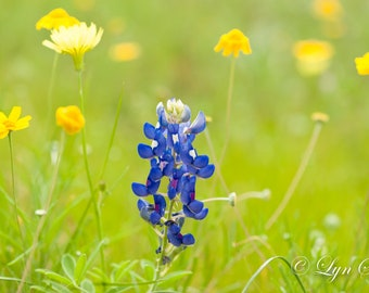 Bluebonnet Single, Landscape photography, Texas, Hill Country, spring, Western, flowers, bluebonnets, fine art, wall art, rustic