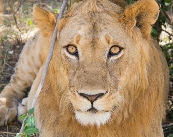 Portrait of A Lion, Kenya, Africa. Canvas Print.