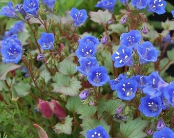 Native Wild Flower Seed Mix, Wildflower Seed Mix, North American Wildflower Seeds