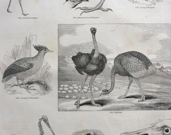 1856 Large Original Antique Bird Engraving - Apteryx, Ostrich, Duperrey's Megapode, Ostrich Skeleton - Ornithology - Wall Decor