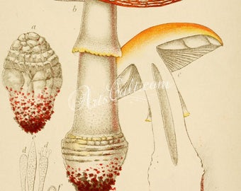 mushrooms-00004 - amanita muscaria, fly agaric or fly amanita, poisonous mushoom vintage high resolution printable illustration print image
