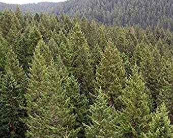 100 Green Douglas Fir Tree Seeds, Pseudotsuga Taxifolia Viridis