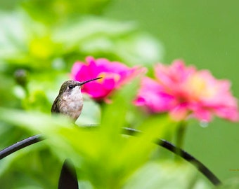 Hummingbird Picture, Hummingbird Print, Bird Photography, Fine Art Photography, Hummingbird Gifts, Photo Prints, Bird Art, Humming Bird