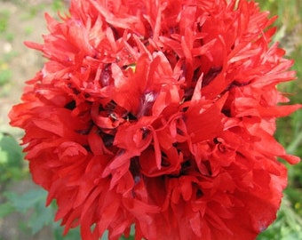 Poppy 'Scarlet Peony' (Papaver somniferum) 50 Seeds
