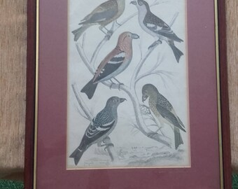 Vintage Framed Ornithological Print or Book Page Picture of 5 Coloured Loxia Crossbills Bird Etchings- Descriptions in bottom left corner
