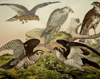1886 Antique lithograph of BIRDS OF PREY: Falcons and Eagles. Falcon. Eagle. Hawk. Hawks. Ornithology. 132 years old gorgeous print