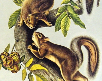 Hare Squirrel -  1976 Vintage Audubon Animal Print - Vintage Book Page - 12 x 9