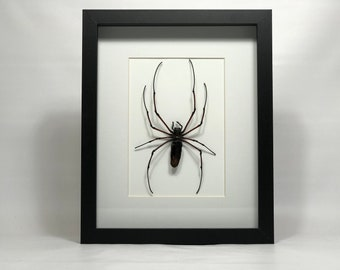 Orb Weaver spider framed, oddities, entomology, taxidermy