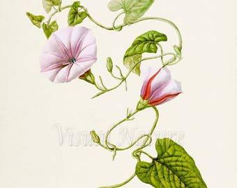 Bindweed Flower Art Print, Botanical Art Print, Flower Wall Art, Flower Print, Floral Print, Home Decor, Morning Glory, pink