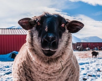 Costailo Sheep, Farm Animal Rescue Portrait Photography