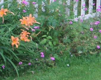 Orange Day Lily/Perennial/Garden Flower