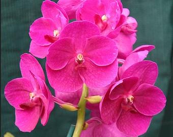 Orchid - Vanda Bangsai Queen Manuvadee Udom Purple Black ….. Stock #334