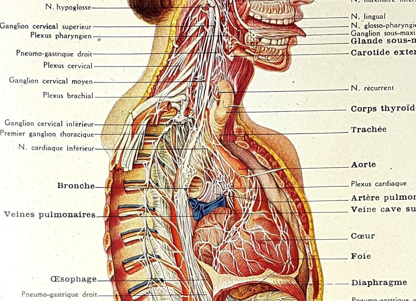 Fantastisch Männliche Fortpflanzungssystem Anatomie Und Physiologie ...