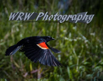 Red Winged Blackbird, Nature photography, Wildlife Decor, Red Winged Blackbird in Flight, Photo Art, Wall Art