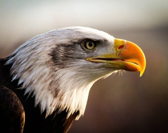 Stock image of an American Bald Eagle, bird of prey, digital download