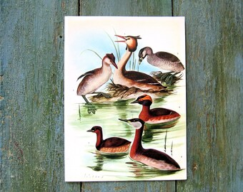 Bird Print - Grebe, Arctic Loon - 1968 Vintage Print - from Encyclopedia