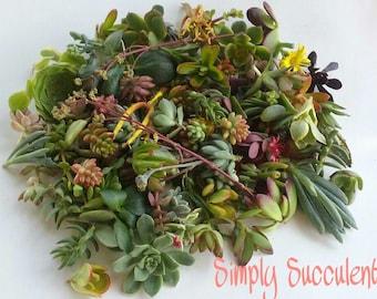 100 Succulent Cuttings DIY