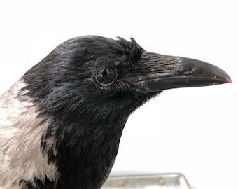 Vintage Bird Crow