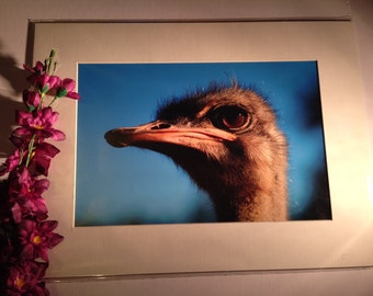 """Face Full of Ostrich - Mounted Wildlife Photo Print (16"""" x 12"""")"""
