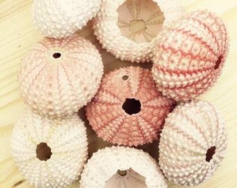 Pink Sea Urchin Shell/Test