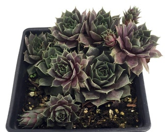 Silverine Hens & Chicks - Semperviven - Very Hardy - One Quart Pot