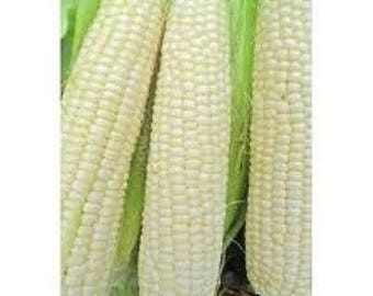 Heirloom White Truckers Favorite Corn Seeds 1/2 lb Plants Two 50' Rows