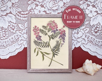 "Vintage illustration of Soft - Fine-Leaved Vetch - framed fine art print, flower art, 8""x10"" ; 11""x14"", FREE SHIPPING - 128"