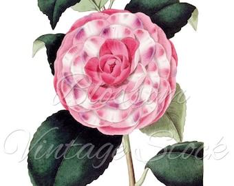 Camellia Clipart,Pink Flower PNG Digital Image, Vintage Flower Image for printing, digital artwork  INSTANT DOWNLOAD- 1099