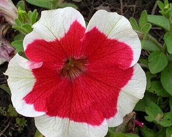 30 Color Skirt Petunia Seed Petunia Hybrida Beautiful Garden Flowers TG1