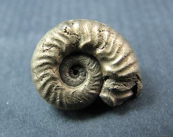 A fossil ammonite in pyrites. FREE SHIPPING. M1
