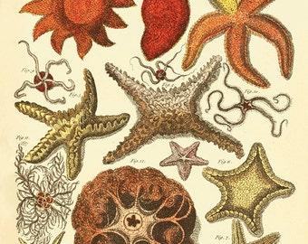 Starfish art print antique prints Nautical art print beach art print Ocean Decor nature print Home decor wall starfish decor Sea art print