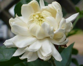 """Jasmine Sambac """"Grand Duke Supreme"""" Rare Plant - Young"""