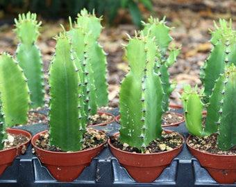 Euphorbia Acurensis Succulent Plant