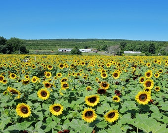 August at the sunflower maze, Middlefield, CT, Connecticut photography, colorful, wall art, home decor, archival, signed print
