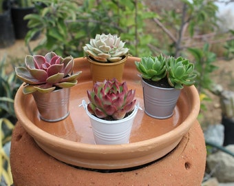 "10 DIY Rosette ONLY Succulents in 2.5"" containers with Adorable Pails-Your Choice of Color- Party FAVOR Kit succulent gifts*"