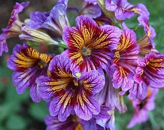 3000 Salpiglossis Sinuata Seeds-Organic Painted Tongue Seeds- Exotic Flower Seeds- Aroma Flower Seeds-Rare  Flower Seeds- Outdor Flower Se