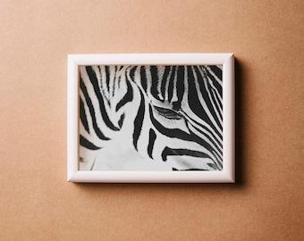 Zebra Fine Art Paper Print
