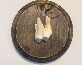 Real buffalo molar art