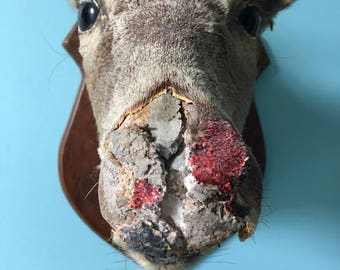 Oddities  Taxidermy  10 pts deer damaged glittered nose