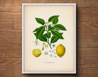 Lemon print, Botanical print, Lemon wall print, Lemon poster, Kitchen decor, Botanical illustration, Vintage botanical art, Tropical fruit