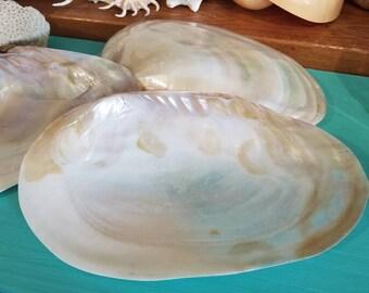 Giant Chamberlaina Hainesiana Rainbow Cebu Clam Pearl Oyster Large Display Shells Beach Chic Feminine Coastal Style DIY Seashell Craft Art