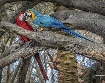 Macaw Parrots, Red and Blue