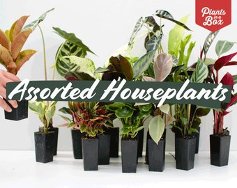 Assorted Pack of 8 Houseplants // gifts for her // gifts for him // indoor plants for sale // wedding favours // gift box // office plants