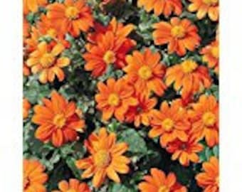 Mexican Sunflower seeds ( tithonia rotundifolia) Goldfinger Seeds