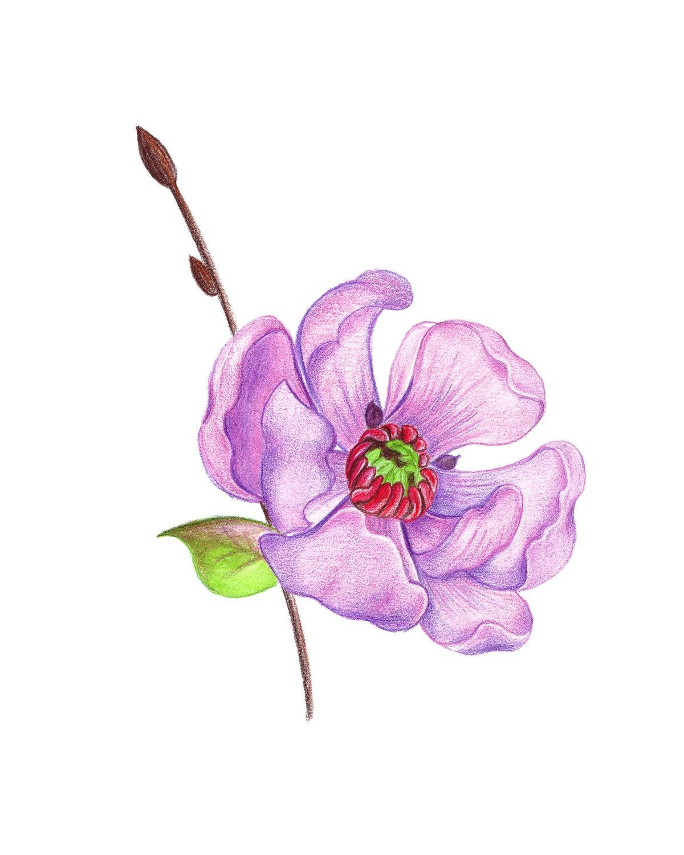 fleur de pomme rose crayons dessin cerise pomme fleur. Black Bedroom Furniture Sets. Home Design Ideas