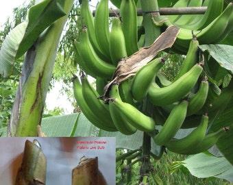 Giant Banana 'Musa paradisiaca' PLATANO living bulbs