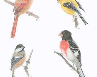 Songbirds/BIRD ILLUSTRATION/Archival Giclee Print/Northern Cardinal/American Goldfinch/Black Capped Chickadee/Rose Breasted Grosbeak