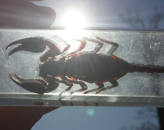 Scorpion in resin