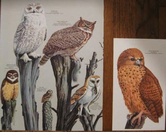 Two Prints of Owls - Pages from 1961 Birds of the World - Illus. by Arthur Singer