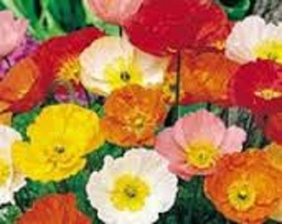 Poppy pavot iceland mixed perennial flower seeds delicate poppy pavot iceland mixed perennial flower seeds delicate bright satin like flowers easy to grow for beds borders or cut flowers mightylinksfo
